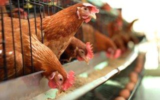 Зачем дают соду курам и цыплятам + рецепты лечения птицы