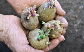 Сода от проволочника на картофеле: алгоритм действий и последствия