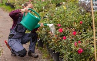 Применение соды для роз — рецепты от опытных цветоводов