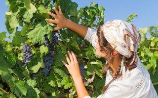 Применение соды для винограда: обработка почвы и лозы содовыми растворами