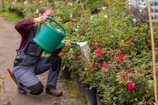 Девушка обрабатывает розы раствором гидрокарбоната натрия