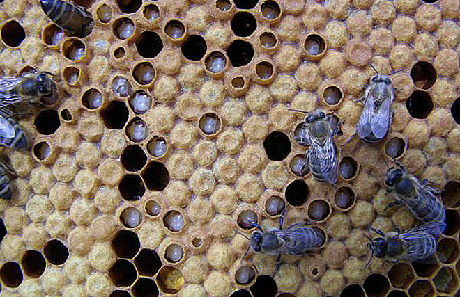 аскосфероз у пчел