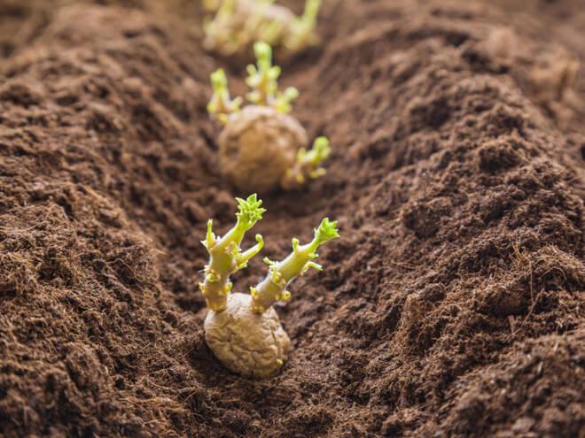 посаженный картофель