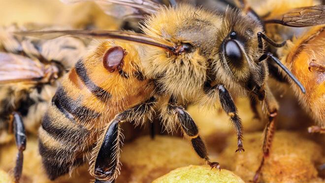 варроатоз у пчел